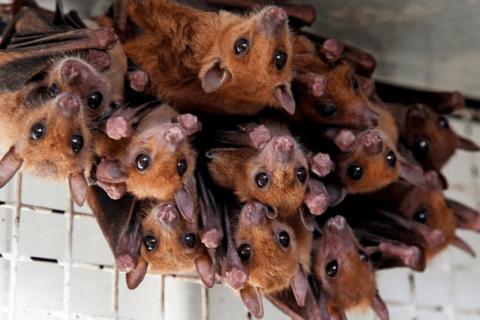 """Afbeelding voor fragment: Kris Boers over vleermuizen: """"Het onderzoek ligt stil, want wij zouden vleermuizen ziek kunnen maken"""""""